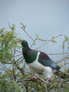 Wood pigeon photo © Fielden Photography, Whangarei